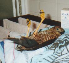 You think you've got problems?  Try being a paralysed Goshawk in the clutches of a mad human!